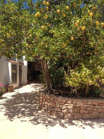 Agroturismo Ca Sa Vilda Marge: Lemon trees