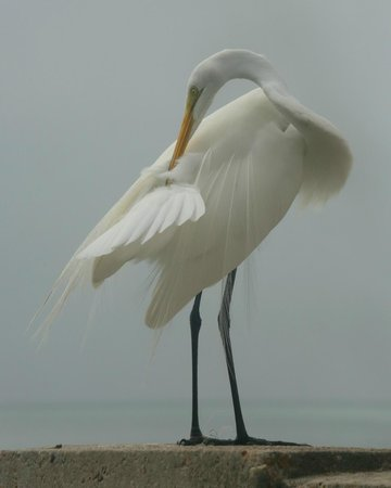Quick Point Nature Reserve: Great egret grooming