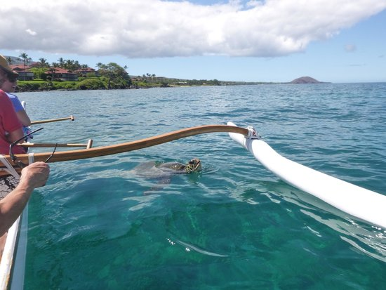 Maui Paddler Hawaiian Outrigger Experience : Honu breaking the surface