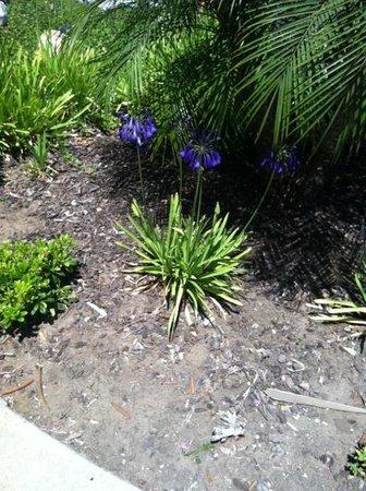Hilton Garden Inn Carlsbad Beach: Lily of the Nile
