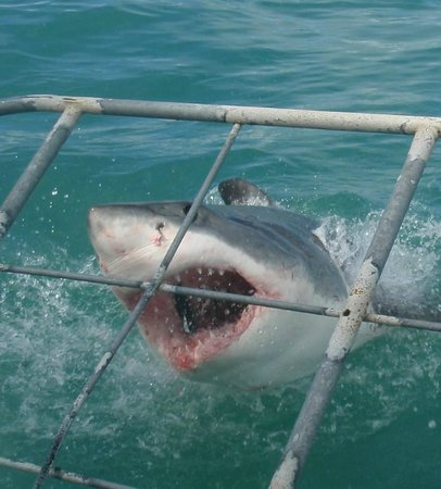 Shark Cage Diving South Africa: shark up close!