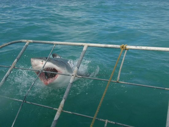 Shark Cage Diving South Africa: shark!