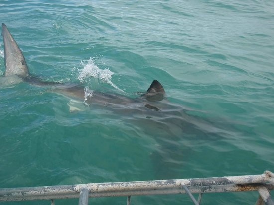Shark Cage Diving South Africa: shark in close proximity