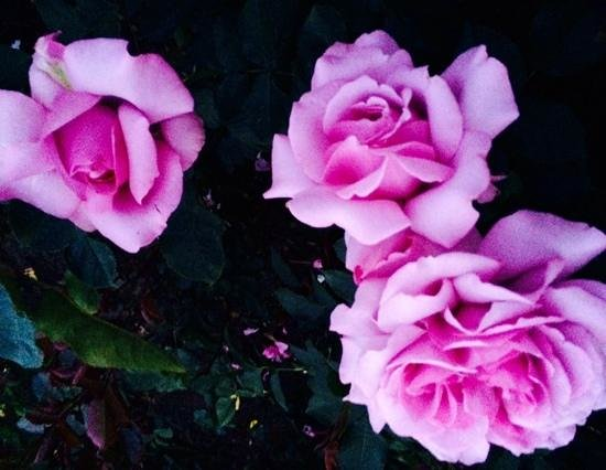 """Butchart Gardens: the exquisite """"love song"""" roses, a usa hybrid, festured among the 2500 varieties of roses at But"""