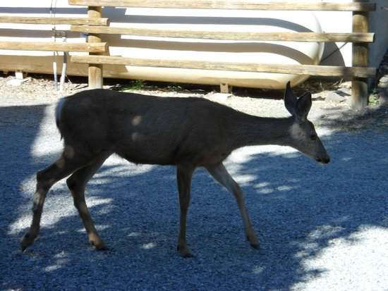 River's Edge Resort: Deer in parking lot