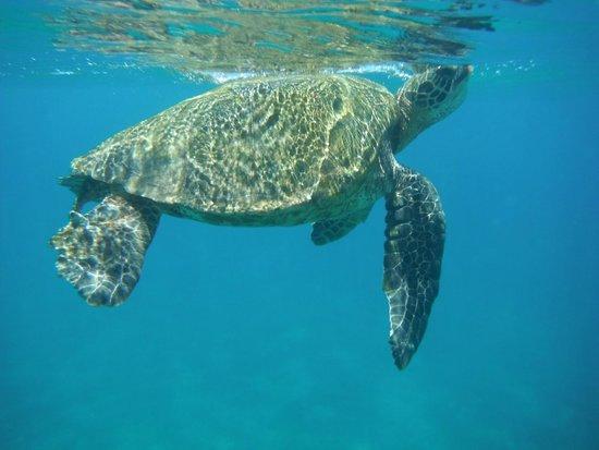 Maui Kamaole: turtle encounter at Papaluau beach while snorkeling