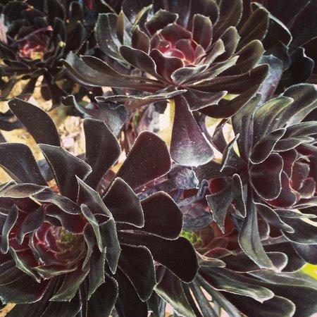 Estancia La Jolla Hotel & Spa: Beautiful black flowers in garden