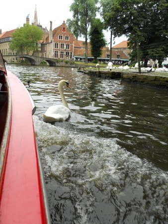 Boottochten Brugge: The swans are used to the boats