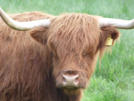 The Hairy Coo - Free Scottish Highlands Tour : The Hairy Coo!