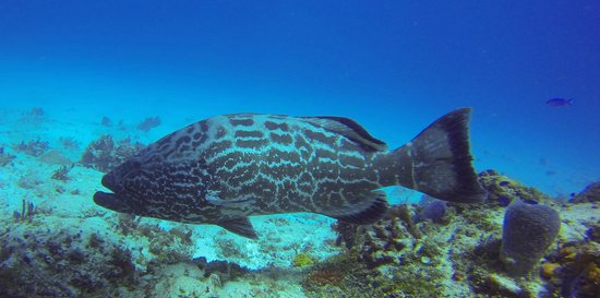 Tres Pelicanos Dive Center: large groupers