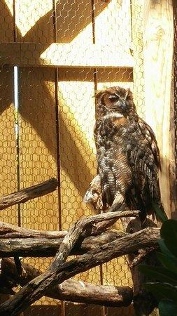 Florida Keys Wild Bird Rehabilitation Center: Great Horned Owl