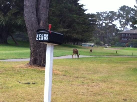 Pacific Grove Municipal Golf Course : deer, golf & the ocean