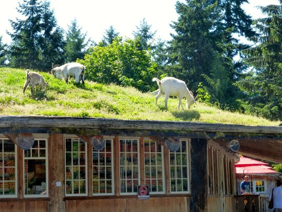 Coombs Ice Cream Parlour: Goats grazing on the roof