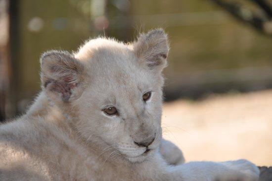 Seaview Lion Park: white lion cub