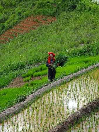 Topas Ecolodge: Red Dao Woman working in the rice fields beside the hotel