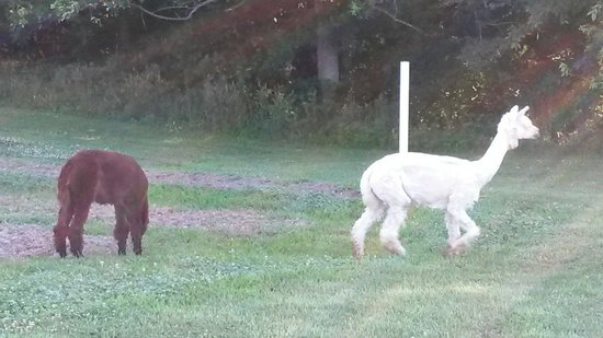 Kennedys Red Barn Inn: Alpacas came to visit