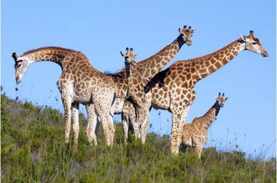 Botlierskop Private Game Reserve : Giraffe on Game drive