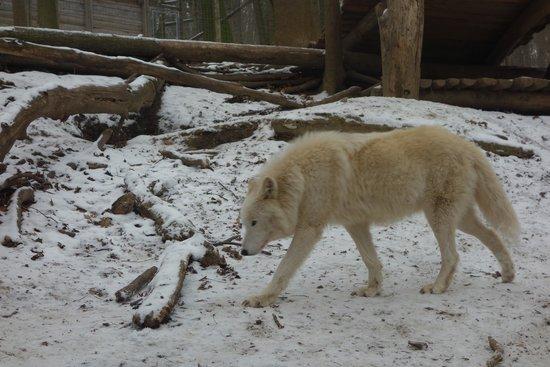 Tiergarten Schoenbrunn - Zoo Vienna: волк