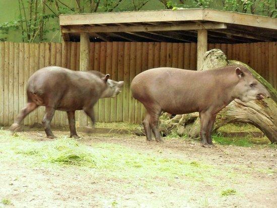 Berlin Zoological Garden : Tapiere