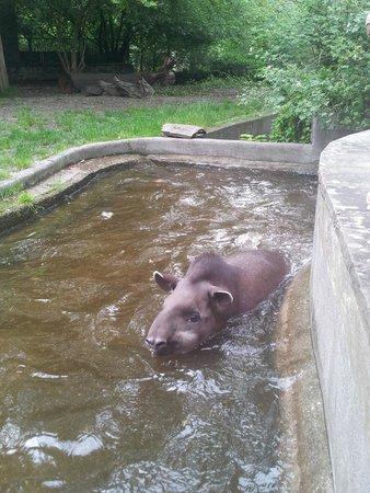 Berlin Zoological Garden : Tapier im Wasser