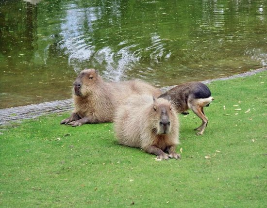 Berlin Zoological Garden : Wasserschweine