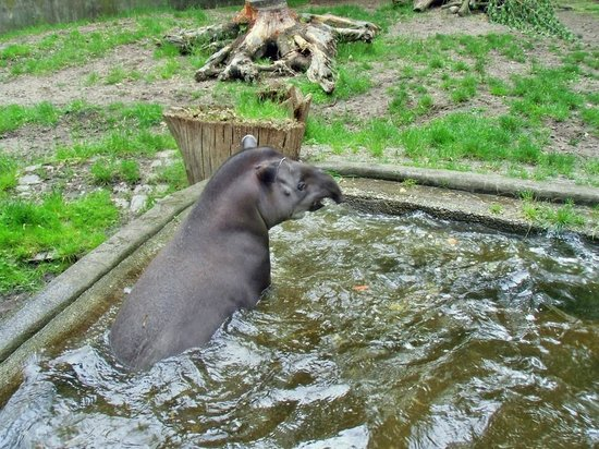 Zoologischer Garten (Berlin Zoo) : Tapier auf Verfolgungsjagd