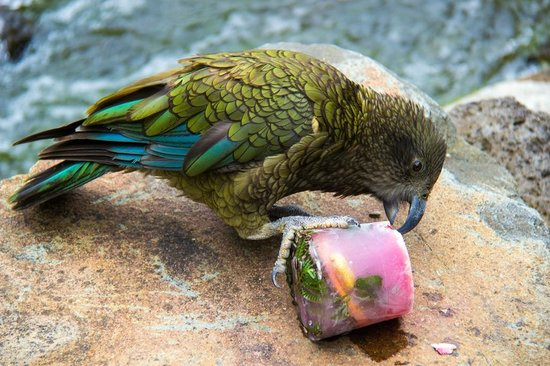 Auckland Zoo: Frozen treats for the Kea bird