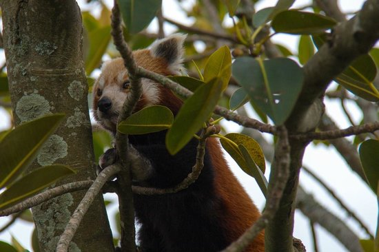 Auckland Zoo: Red Panda!