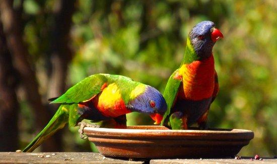 Uluramaya Retreat Cabins : Visiting lorikeets