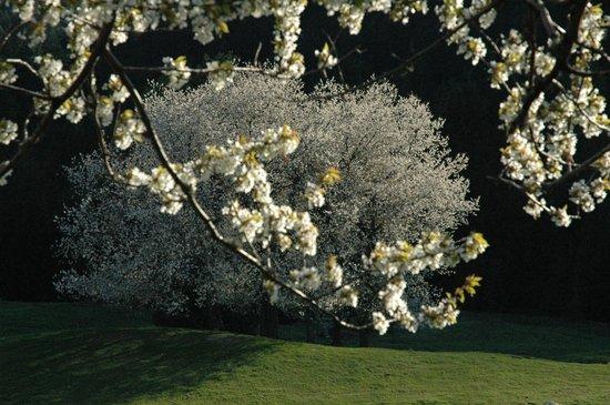 House Neza: bloosoming cherries