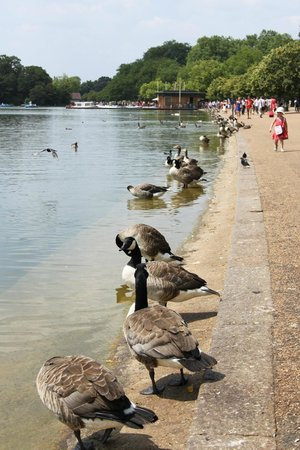 Hyde Park: уточки Гайд-Парка