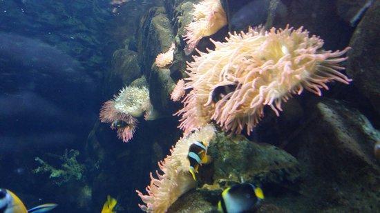 Acquario di Cattolica : Anemone..
