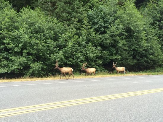Klamath River RV Park: Elk a few miles down the road from campground. Kids were so excited.