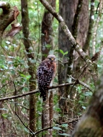 Corkscrew Swamp Sanctuary : Red-shouldered Hawk