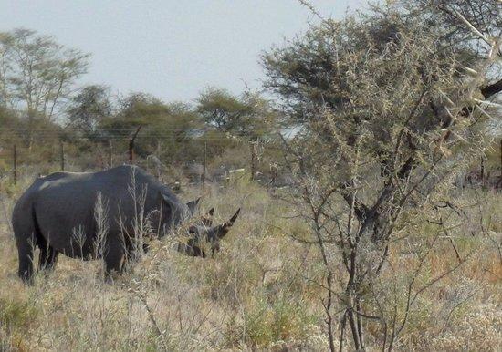 Etosha Safari Lodge : white rhino next to Okaukuejo