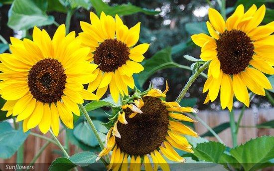 Sunflower Hill, A Luxury Inn : Sunflowers in the garden