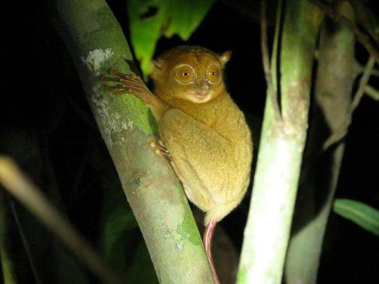 Nature Lodge Kinabatangan: Western tarsier on night walk
