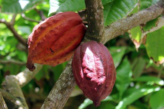 Botanical Gardens of Nevis : Cocoa pods