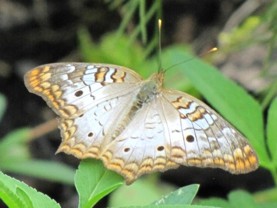 Six Mile Cypress Slough Preserve : White Peacock butterfly