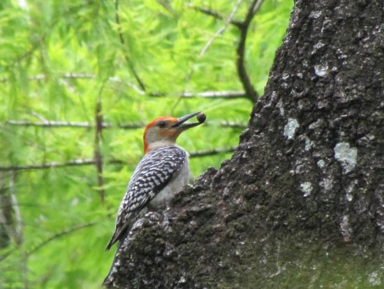 Six Mile Cypress Slough Preserve: Red bellied woodpecker  with lunch