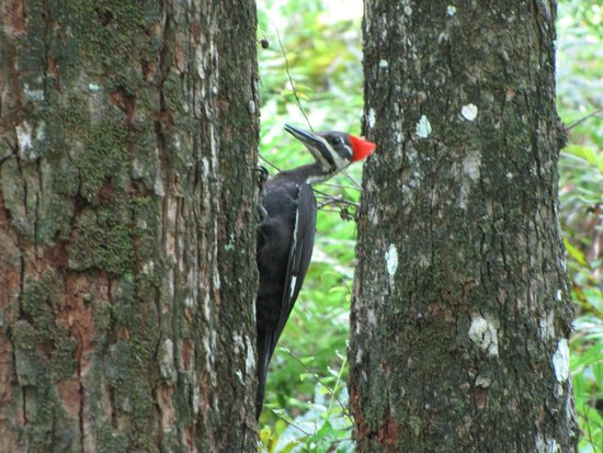 Six Mile Cypress Slough Preserve : Pileated Woodpecker
