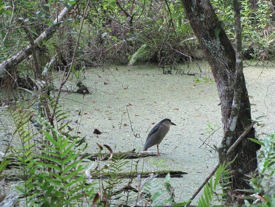 Six Mile Cypress Slough Preserve: Black-crowned Night-Heron