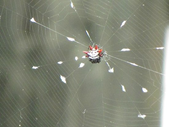 Six Mile Cypress Slough Preserve : Spiny orb-weaver spider
