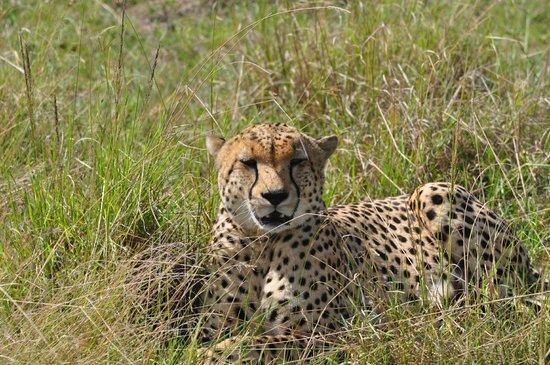 Cheetah seen on Porini Lion Camp game drive