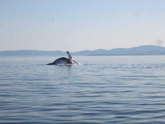 Otis Excursions : Baleine qui se nourris en surface