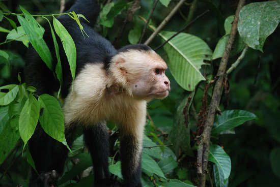 Playa Manuel Antonio: White-faced monkey