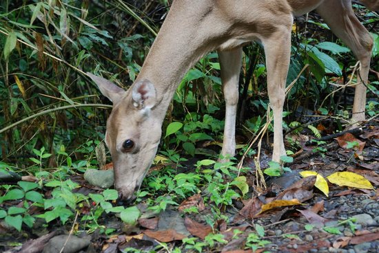 Playa Manuel Antonio: White deer
