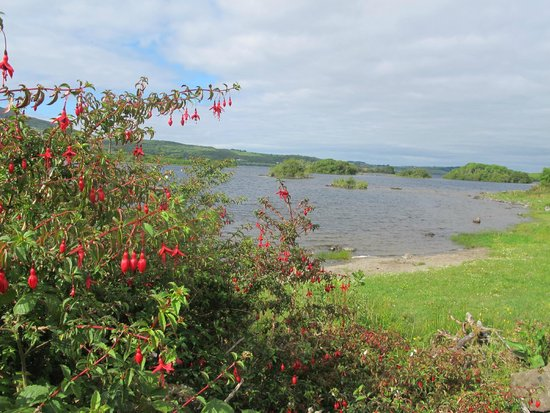 Grasshopper Cottage: fuchsias sauvages au bord du Lough