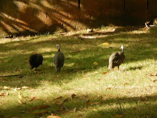 Hotel Oloffson: Chickens and guinea hens all over the grounds