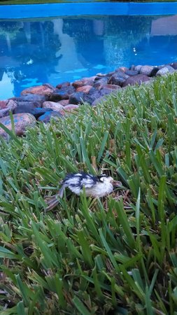 Casa Magna Marriott Puerto Vallarta Resort & Spa: Dead duckling 4th July